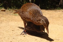 Daddy weka, guarding over his babies while feeding them.