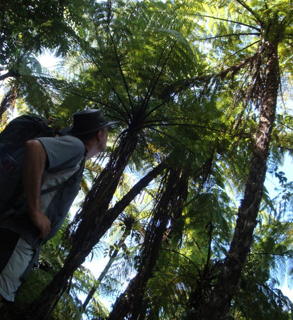 Massive tree ferns are a constant presence along the track.