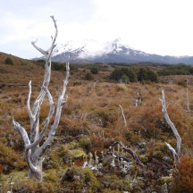 The stark white stumps with Mt Ruapehu as backdrop.