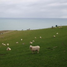 Rolling green hills with happy woolly sheep.