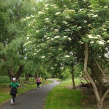 The section of the Bridle Track next to the river with Elderflowers in full bloom.