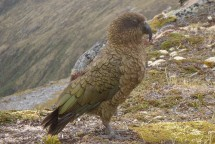 Still a beautiful parrot, and an amazing sight to see in an alpine environment.