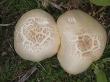 Can't remember seeing any of these massive mushrooms the previous day.