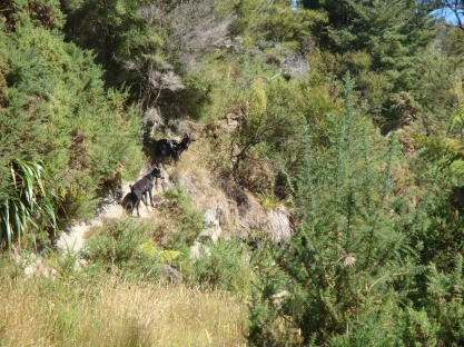 We saw and heard quite a few mountain goats.