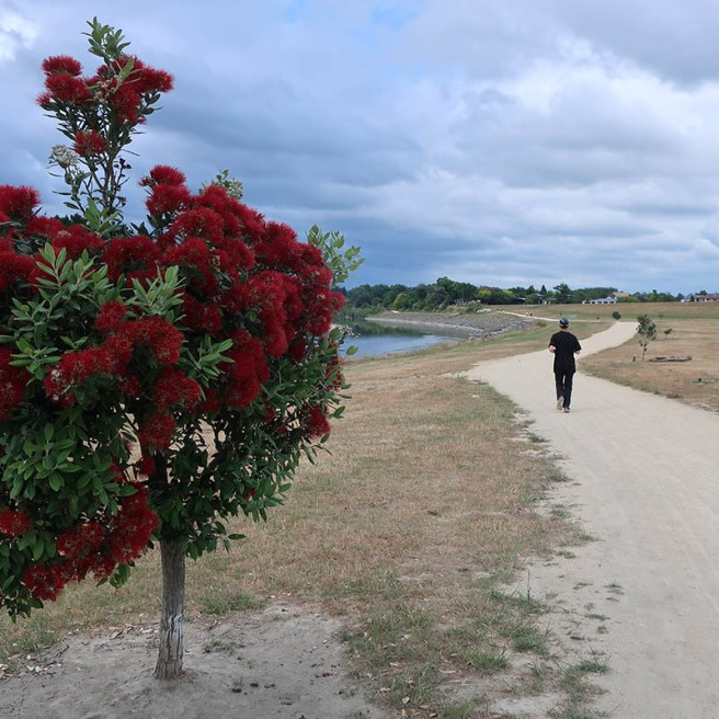 Where would you find a more beautiful Christmas tree than a Pōhutukawa in full bloom?