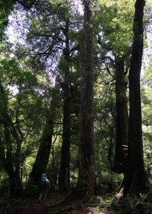 Dwarfed by the massive beech trees.
