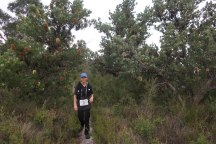 These waratahs were quite common throughout the Rocky Cape section.