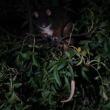 Lots of interesting animals came out to play after sunset, including this very cute pygmy possum.