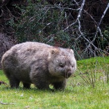 Wombat at the cabin.