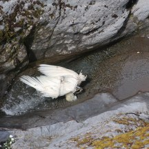 A large dead bird (seagull?) in the mountain stream.